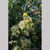 Perennials ~ Cestrum parqui, Willow Jessamine ~ Dancing Oaks Nursery and Gardens ~ Retail Nursery ~ Mail Order Nursery