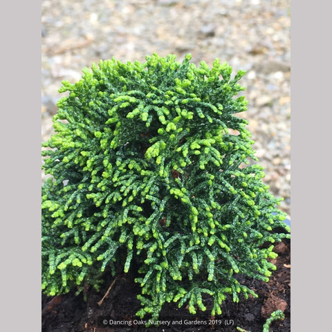 Shrubs ~ Chamaecyparis obtusa 'Leprechaun', Dwarf Hinoki Cypress ~ Dancing Oaks Nursery and Gardens