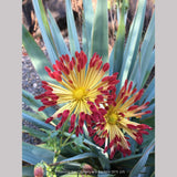 Perennials ~ Chrysanthemum 'Matchsticks' ~ Dancing Oaks Nursery and Gardens ~ Retail Nursery ~ Mail Order Nursery