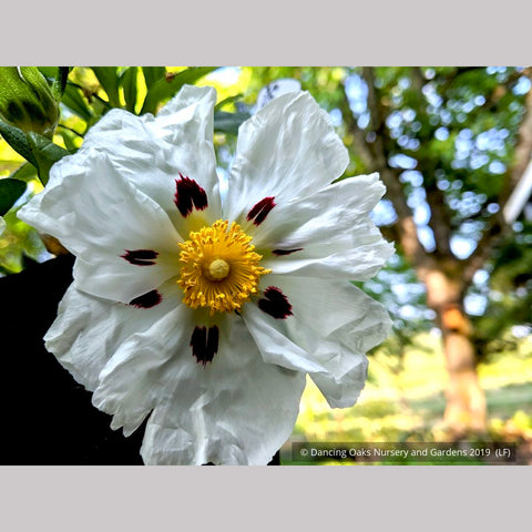 Cistus ladanifer 'Paladin', Rock Rose