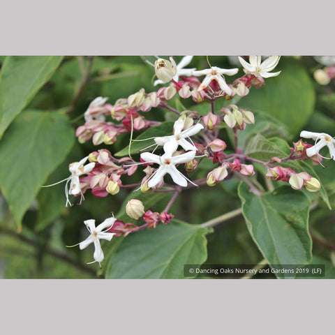 Clerodendrum trichotomum, Glory Bower