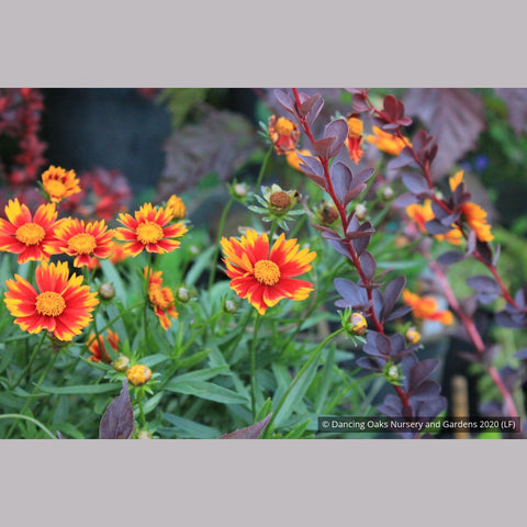 Perennials ~ Coreopsis Li'l Bang™ 'Daybreak' PP 27,138, Tickseed ~ Dancing Oaks Nursery and Gardens ~ Retail Nursery ~ Mail Order Nursery