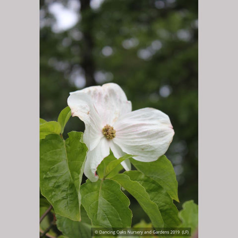 Trees ~ Cornus 'Eddie's White Wonder', Dogwood ~ Dancing Oaks Nursery and Gardens ~ Retail Nursery ~ Mail Order Nursery