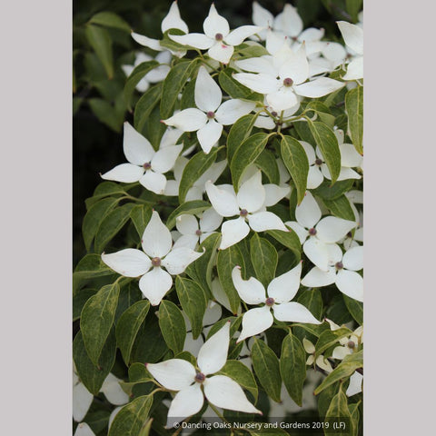 Trees ~ Cornus kousa 'Milky Way', Kousa Dogwood ~ Dancing Oaks Nursery and Gardens ~ Retail Nursery ~ Mail Order Nursery