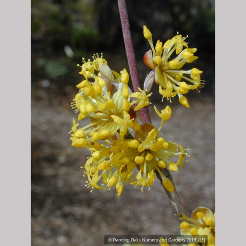 Trees ~ Cornus mas Golden Glory', Cornelian Cherry ~ Dancing Oaks Nursery and Gardens ~ Retail Nursery ~ Mail Order Nursery