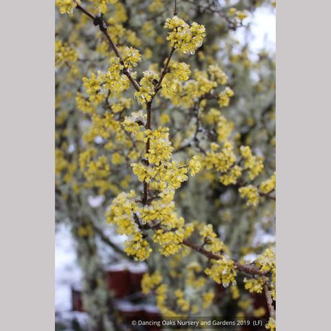 Trees ~ Cornus mas, Cornelian Cherry Dogwood ~ Dancing Oaks Nursery and Gardens ~ Retail Nursery ~ Mail Order Nursery