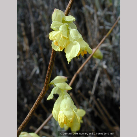 Shrubs ~ Corylopsis pauciflora, Buttercup Winter Hazel ~ Dancing Oaks Nursery and Gardens ~ Retail Nursery ~ Mail Order Nursery