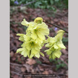 Shrubs ~ Corylopsis glabrescens 'Longwood Chimes', Winter Hazel ~ Dancing Oaks Nursery and Gardens