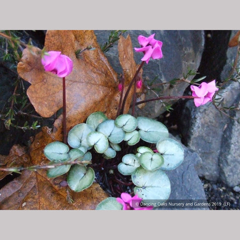 Bulbs & Tubers ~ Cyclamen coum 'Silver Form', Hardy Cyclamen ~ Dancing Oaks Nursery and Gardens ~ Retail Nursery ~ Mail Order Nursery