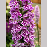 Bulbs & Tubers ~ Dactylorhiza fuchsii, Common Spotted Orchid ~ Dancing Oaks Nursery and Gardens