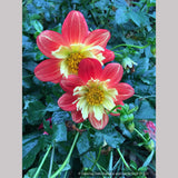 Perennials ~ Dahlia 'Wheels' ~ Dancing Oaks Nursery and Gardens ~ Retail Nursery ~ Mail Order Nursery