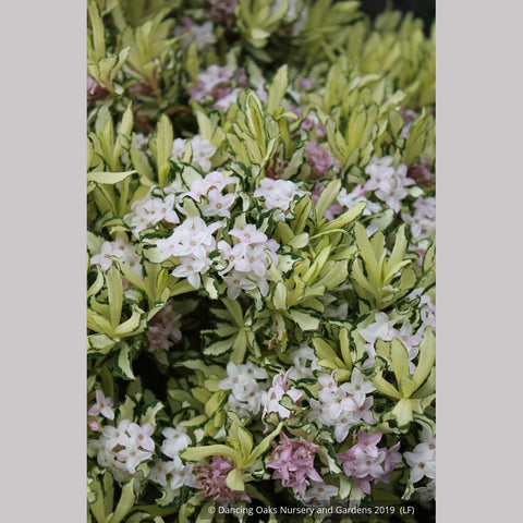 Shrubs ~ Daphne x burkwoodii 'Brigg's Moonlight' ~ Dancing Oaks Nursery and Gardens ~ Retail Nursery ~ Mail Order Nursery