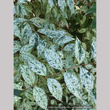 Shrubs ~ Deutzia scabra 'Variegata', Fuzzy Deutzia ~ Dancing Oaks Nursery and Gardens ~ Retail Nursery ~ Mail Order Nursery
