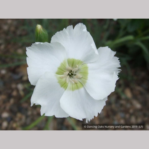 Perennials ~ Dianthus 'Charles Musgrave', Sweet William ~ Dancing Oaks Nursery and Gardens
