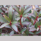 Shrubs ~ Tasmannia lanceolata (syn. Drimys lanceolata), Tasmanian Pepper Bush ~ Dancing Oaks Nursery and Gardens ~ Retail Nursery ~ Mail Order Nursery