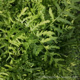 Ferns ~ Dryopteris filix-mas 'Linearis Polydactyla', Slender Crested Male Fern ~ Dancing Oaks Nursery and Gardens ~ Retail Nursery ~ Mail Order Nursery