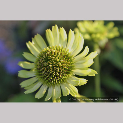 Perennials ~ Echinacea 'Green Jewel' PP18,678, Coneflower ~ Dancing Oaks Nursery and Gardens ~ Retail Nursery ~ Mail Order Nursery
