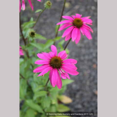Perennials ~ Echinacea 'PowWow Wildberry' 'PAS702917', Coneflower ~ Dancing Oaks Nursery and Gardens ~ Retail Nursery ~ Mail Order Nursery