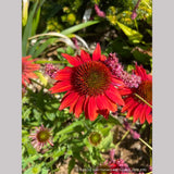Perennials ~ Echinacea Sombrero® 'Salsa Red' PPAF, Coneflower ~ Dancing Oaks Nursery and Gardens ~ Retail Nursery ~ Mail Order Nursery