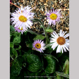 Perennials ~ Erigeron pulchellus 'Meadow Muffin' ~ Dancing Oaks Nursery and Gardens