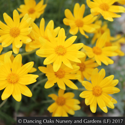 Perennials ~ Eriophyllum lanatum 'Takilma Gold', Takilma Gold Oregon Sunshine ~ Dancing Oaks Nursery and Gardens ~ Retail Nursery ~ Mail Order Nursery