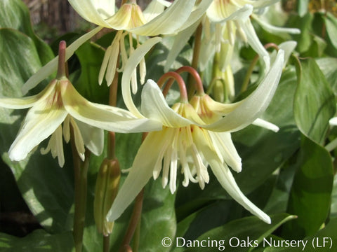 Bulbs & Tubers - Erythronium revolutum 'White Beauty', Dog Tooth Violet - Dancing Oaks Nursery
