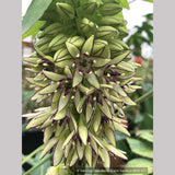 Bulbs & Tubers ~ Eucomis bicolor, Pineapple Lily ~ Dancing Oaks Nursery and Gardens ~ Retail Nursery ~ Mail Order Nursery