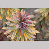 Perennials ~ Euphorbia 'Ascot Rainbow'  PP#21401, Spurge ~ Dancing Oaks Nursery and Gardens ~ Retail Nursery ~ Mail Order Nursery