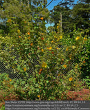Shrubs ~ Fremontodendron 'California Glory', Flannel Bush ~ Dancing Oaks Nursery and Gardens ~ Retail Nursery ~ Mail Order Nursery