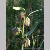 Bulbs & Tubers ~ Fritillaria affinis (F. lanceolata) , Chocolate Lily ~ Dancing Oaks Nursery and Gardens ~ Retail Nursery ~ Mail Order Nursery