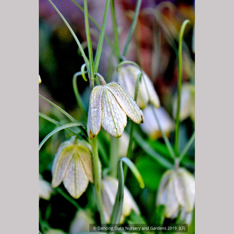 Bulbs & Tubers ~ Fritillaria verticillata ~ Dancing Oaks Nursery and Gardens ~ Retail Nursery ~ Mail Order Nursery