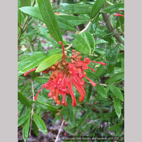 Shrubs ~ Grevillea 'Constance' seedling ~ Dancing Oaks Nursery and Gardens ~ Retail Nursery ~ Mail Order Nursery