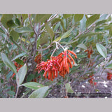 Shrubs ~ Grevillea victoriae 'Murray Valley Queen' , Royal Grevillea ~ Dancing Oaks Nursery and Gardens ~ Retail Nursery ~ Mail Order Nursery