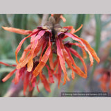 Shrubs ~ Hamamelis x 'Diane', Witch Hazel ~ Dancing Oaks Nursery and Gardens ~ Retail Nursery ~ Mail Order Nursery