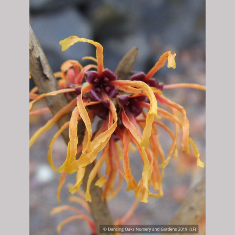 Shrubs ~ Hamamelis x intermedia 'Jelena', Witch Hazel ~ Dancing Oaks Nursery and Gardens ~ Retail Nursery ~ Mail Order Nursery