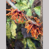 Hamamelis x intermedia 'Orange Peel', Witch Hazel
