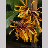 Shrubs ~ Hamamelis x intermedia 'Orange Peel', Witch Hazel ~ Dancing Oaks Nursery and Gardens ~ Retail Nursery ~ Mail Order Nursery