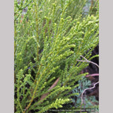 Shrubs ~ Hebe 'Greensleeves', Whipcord Hebe ~ Dancing Oaks Nursery and Gardens ~ Retail Nursery ~ Mail Order Nursery