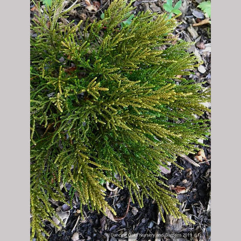Shrubs ~ Hebe 'James Stirling' ~ Dancing Oaks Nursery and Gardens ~ Retail Nursery ~ Mail Order Nursery