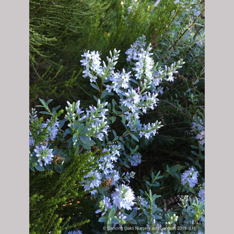 Shrubs ~ Hebe 'Western Hills' ~ Dancing Oaks Nursery and Gardens ~ Retail Nursery ~ Mail Order Nursery