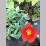 Shrubs ~ Helianthemum 'Henfield Brilliant, Sun Rose ~ Dancing Oaks Nursery and Gardens ~ Retail Nursery ~ Mail Order Nursery