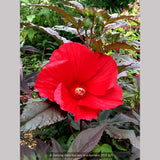 Perennials ~ Hibiscus 'Midnight Marvel', Hardy Hibiscus ~ Dancing Oaks Nursery and Gardens ~ Retail Nursery ~ Mail Order Nursery