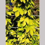 Vines ~ Humulus lupulus 'Aureus', Golden Hop ~ Dancing Oaks Nursery and Gardens ~ Retail Nursery ~ Mail Order Nursery