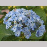 Shrubs ~ Hydrangea 'Ayesha' ~ Dancing Oaks Nursery and Gardens ~ Retail Nursery ~ Mail Order Nursery