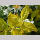 Shrubs ~ Hypericum x inodorum 'Summergold', Golden St. Johnswort ~ Dancing Oaks Nursery and Gardens ~ Retail Nursery ~ Mail Order Nursery