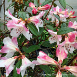 Shrubs ~ Rhododendron 'Coastal Spice' ~ Dancing Oaks Nursery and Gardens ~ Retail Nursery ~ Mail Order Nursery