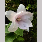 Perennials ~ Platycodon grandiflorus 'Astra Semi Double Pink', Balloon Flower ~ Dancing Oaks Nursery and Gardens ~ Retail Nursery ~ Mail Order Nursery