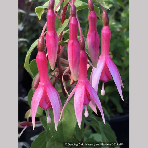 Perennials ~ Fuchsia 'Checkerboard', Hardy Fuchsia ~ Dancing Oaks Nursery and Gardens ~ Retail Nursery ~ Mail Order Nursery