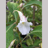 Perennials ~ Impatiens arguta 'Alba', White Hardy Impatiens ~ Dancing Oaks Nursery and Gardens ~ Retail Nursery ~ Mail Order Nursery
