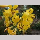 Bulbs & Tubers ~ Lilium parryi, Lemon Lily ~ Dancing Oaks Nursery